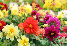 Bright different colored flowers of dahlia Stock Photography