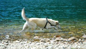 Bright dog. Tracking something in the water Stock Photo
