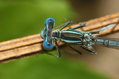 Bright Dragonfly on a branch. Exteme close up Royalty Free Stock Image