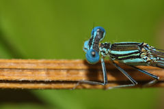 Bright Dragonfly on a branch Stock Photo