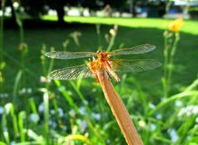A bright dragonfly sits on a stalk of grass stock photos