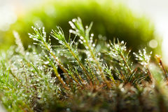 Bright drops on moss Stock Image