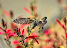Bright and Early. Super shot of a hummingbird in the very morning hours Stock Images