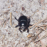 Bright Earth-boring dung beetle, Anoprotrupes stercorosus, portrait on ground at pine forest, macro, selective focus Stock Photo
