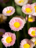 Bright English Daisies Stock Images