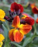 Erysimum cheiri (Wallflower) Royalty Free Stock Image