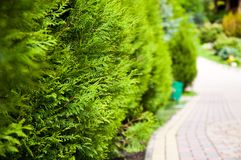 Bright evergreen plant grows near the alley in the park. It`s summer outside. Shine the sun royalty free stock image