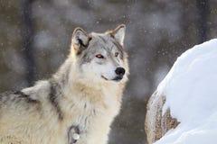 Bright eye timber wolf Stock Photos