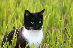 Bright eyed cat. A cat sitting in a field of green spring wheat Stock Images