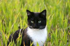 Bright eyed cat. A cat sitting in a field of green spring wheat Stock Photography