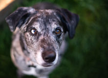 Bright Eyed Unique Looking Dog Canine Looks at Camera. This unique dog looks at you with wonderful anticipation Stock Photo