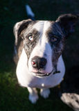 Bright Eyed Unique Looking Dog Canine Looks at Camera. This unique dog looks at you with wonderful anticipation Stock Photography