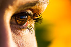 Bright eyes. The eye of a woman observing the sunset in a sunflower field Royalty Free Stock Photography