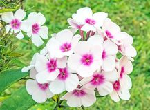 Free Bright Eyes Tall Garden Phlox Flowers Closeup Royalty Free Stock Photos - 159059718