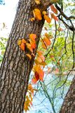 Bright fall in Autumn vine leaf tree, orange leaves climbing up the tree in autumn season forest, out door in sunlight Royalty Free Stock Photography