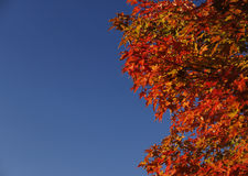 Bright fall color against blue sky Royalty Free Stock Image