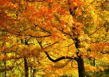 Bright Fall Foliage. Bright brilliant yellow and orange fall foliage Stock Photo
