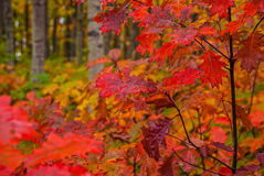 Bright Fall Foliage Royalty Free Stock Photography