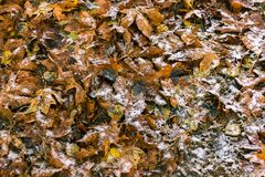 Changing of the seasons. Bright fall leaves sitting in new snow freshly fallen Royalty Free Stock Images