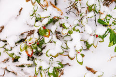 Bright fall leaves in snow. Red and green leaves under snow Stock Images