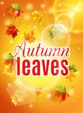 Bright fall poster with warm sunshine, autumn maple leaves, the effect of the sun glow.  Stock Images