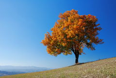 Bright fall tree. Bright colored fall tree with clear blue sky stock photography