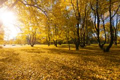 Bright fallen leaves in autumn forest at sunny weather. Fall maple trees. Yellow nature background.  Stock Images