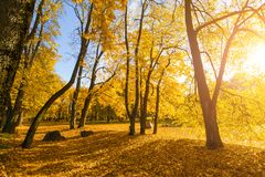 Bright fallen leaves in autumn forest at sunny weather. Fall maple trees. Yellow nature background.  Stock Photos