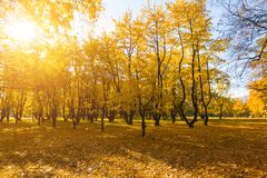 Bright fallen leaves in autumn forest at sunny weather. Fall maple trees. Yellow nature background.  Stock Photography