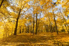 Bright fallen leaves in autumn forest at sunny weather. Fall maple trees. Yellow nature background.  Royalty Free Stock Photo