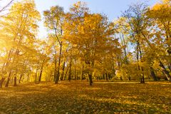 Bright fallen leaves in autumn forest at sunny weather. Fall maple trees. Yellow nature background.  Royalty Free Stock Images