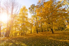 Bright fallen leaves in autumn forest at sunny weather. Fall maple trees. Yellow nature background.  Royalty Free Stock Photography