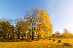 Bright fallen leaves in autumn forest at sunny weather. Fall maple trees. Yellow nature background.  Stock Image