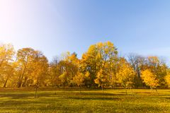 Bright fallen leaves in autumn forest at sunny weather. Fall maple trees. Yellow nature background.  Stock Photo