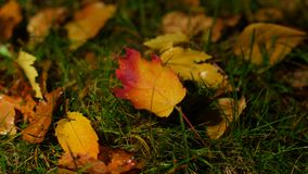 Bright fallen leaves on ground, lighting at night change gets dark. Bright fallen leaves on wet after rain ground, lighting at night change gets dark stock footage