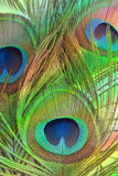 Bright feathers of a peacock Stock Images
