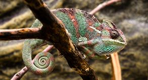 Bright female Yemen chameleon sits on a branch on a yellow backg Royalty Free Stock Images