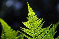 Bright Fern on Dark Background Stock Photography