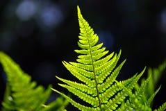 Bright Fern on Dark Background Stock Photography