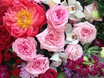 Bright pink and red festive roses. Bright festive pink english festive roses Stock Photos