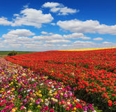 Bright festive red blooming field Stock Images