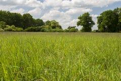 Bright Field. Green Grass (field) - trees on horizon - cloudy sky Stock Image
