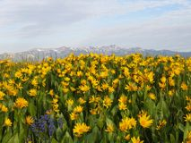 Bright field of many yellow flowers in front of mountains Stock Photo