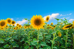 Bright field of sunflowers Stock Image