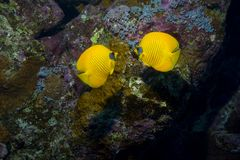 Bright fish among coral. Pair of bright yellow fish among coral Stock Photography