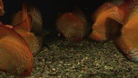 Bright fish discus swim in the aquarium. Bright colorful fish discus swim in the aquarium stock video