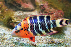 Bright fish Royalty Free Stock Image