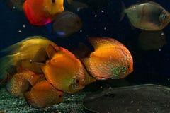 Bright fish swim in the aquarium Stock Images