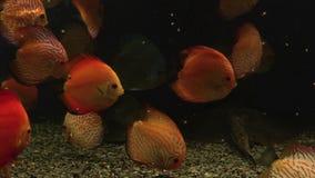 Bright fish swim in the aquarium. Bright colorful fish swim in the aquarium stock video footage
