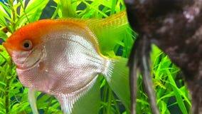 Bright fish swim in the aquarium. Bright colorful fish swim in the aquarium stock footage